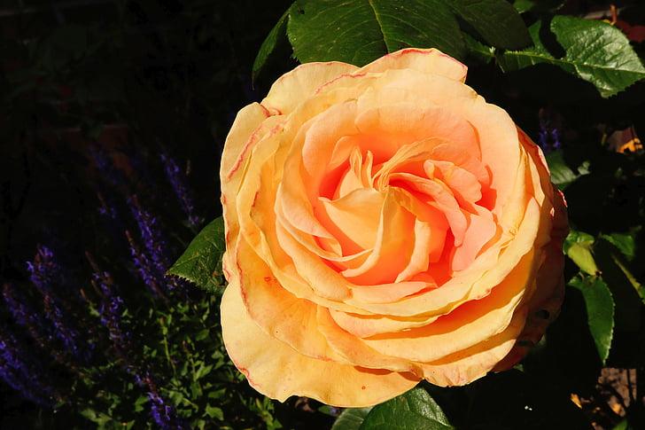 Rosa, flor, flor, taronja, fragància, bellesa, l'estiu