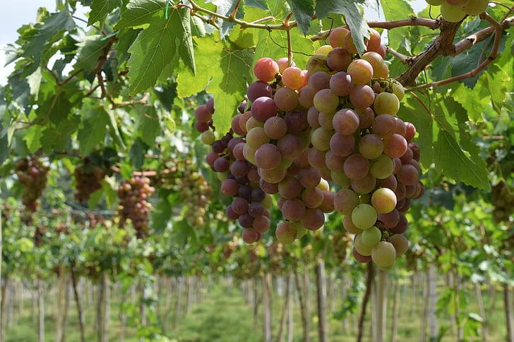 viinamarjad, Vineyard, viinapuu, veini, lehed, klastri, punane vein
