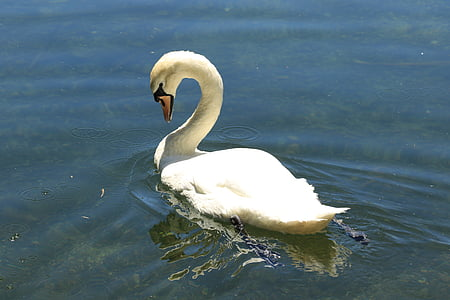 Cigne, ocell, l'aigua, ploma, bec, blanc