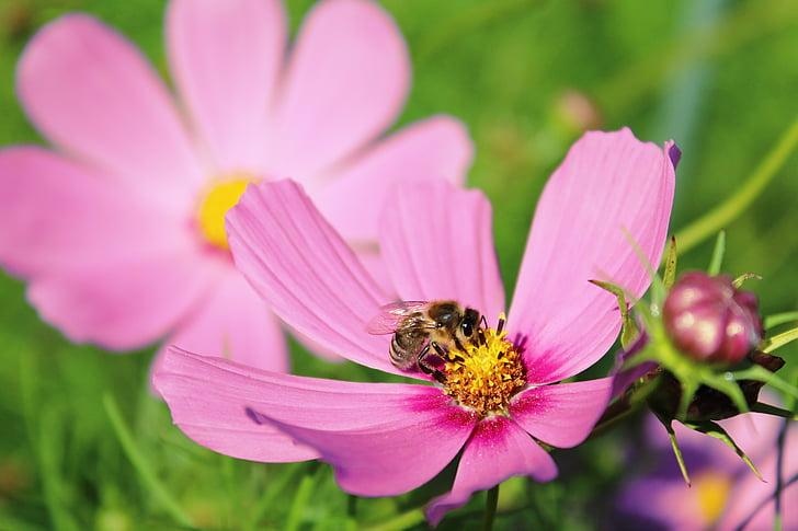 flower, cosmea flower, cosmea, cosmos, blossom, bloom, violet
