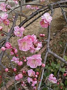 plommon, röda plommon, Plum blossoms, våren, Rosa, blommor och insekter, Bee