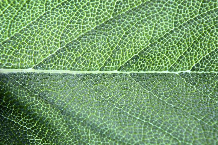 Chlorofyl, bazalka, Leaf, makro, korenie, Zelená