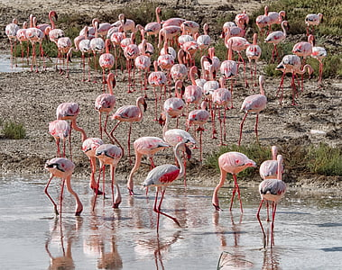 flamenc, ocell, Rosa, ramat, Namíbia