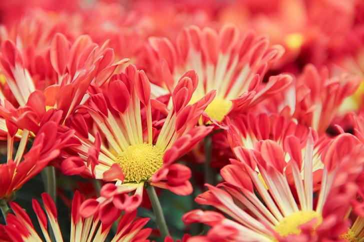 菊花, 花, 花瓣, 花香, 浪漫, 开花, 植物