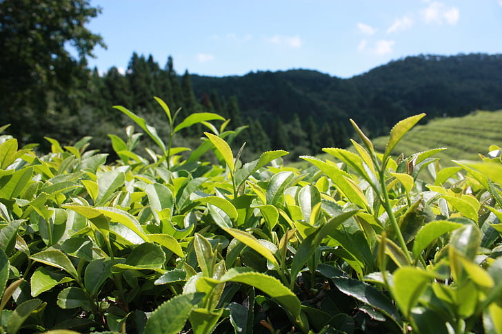 green tea plantation, plants, landscape, tea, leaf