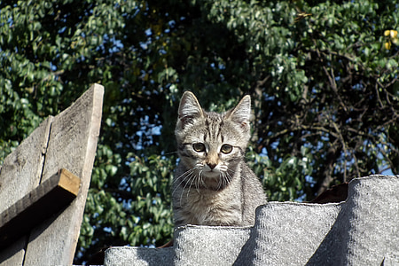 kitten, cat, striped, animals, grey, cats, pet