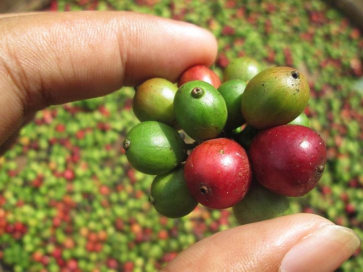 gra de cafè, cafè, jove cafè, fruita de cafè