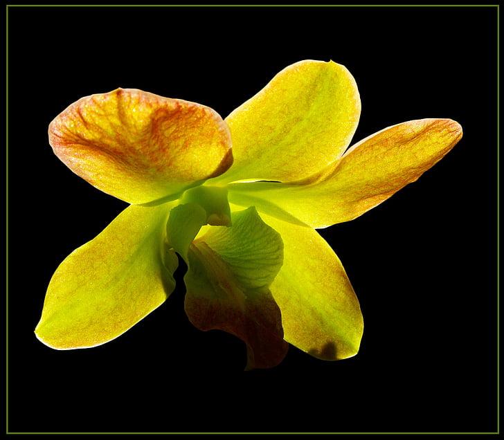 orchidea, kvet, kvet, kvet, žltá zelená