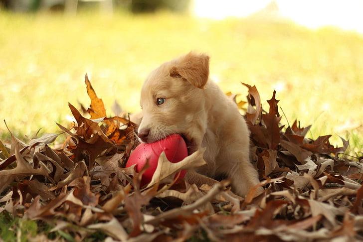 pit lab mix, autumn, labrador, golden retriever, pit, puppy, mix