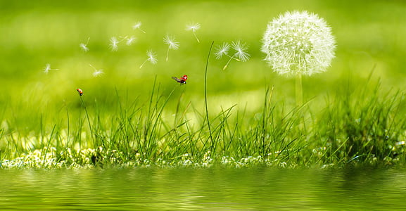 Voikukka, niitty, leppäkerttu, kukka, kasvi, Rush, ruoho