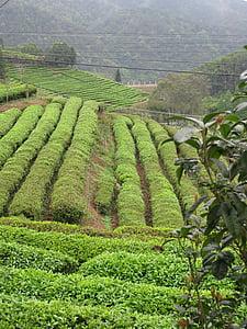 čaj, Zbirka, plantaža, polja, polje, žetva, zelena polja