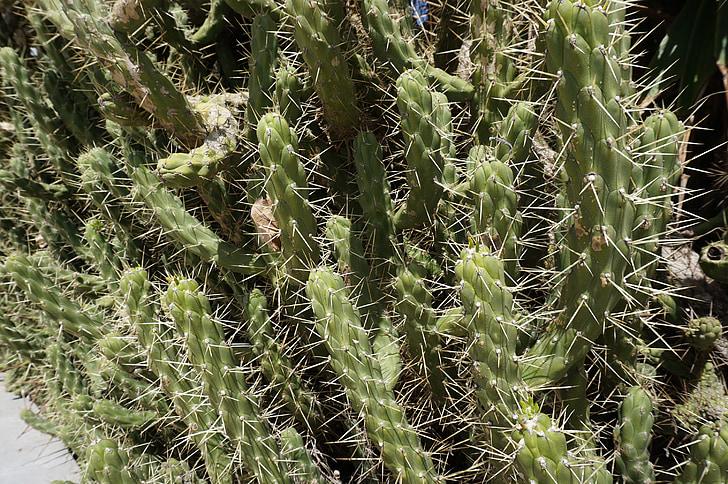 卡托, 高峰, 香辣, 绿色, 植物