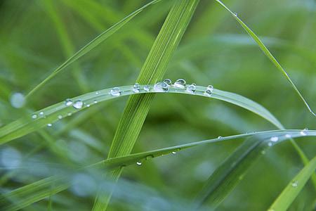 Drip, Rosy, dewdrop, tráva, kvapky vody, Zelená, steblo trávy