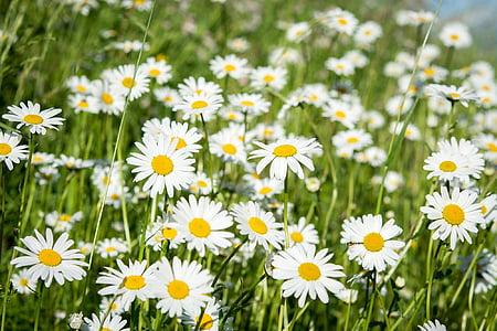 데이지, 지적 띕니다, 야생화, 초원, 꽃, 하얀, 자연