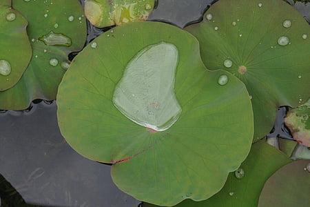 zázraky, Nell, voda, Příroda, list, Vodní lilie, Lotus leknín