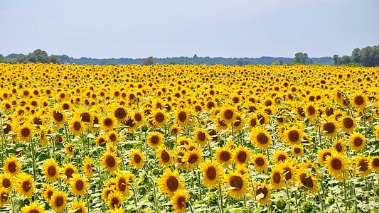 sunflower, yellow flower, sunflower field, plants, summer, nature, yellow