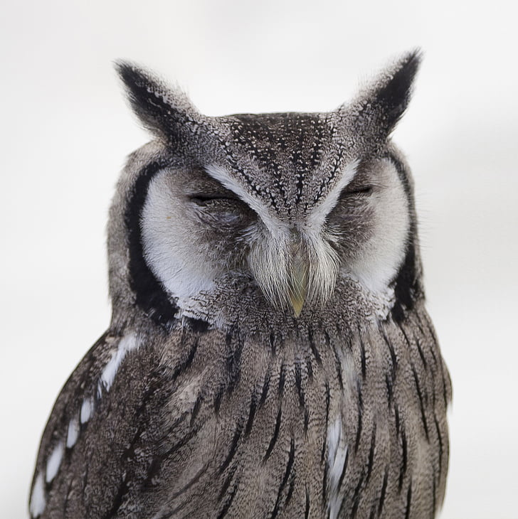 животните, животинска фотография, птица, едър план, бухал, дива природа, природата