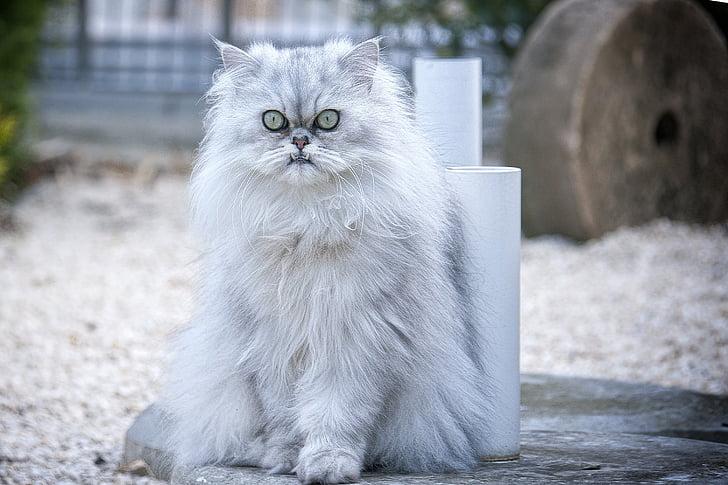 cat, persian cat, domestic cat
