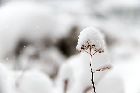 fred, gel, macro, planta, neu, Neus perpètues, l'hivern