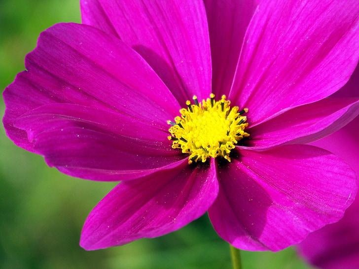 Rosa, cosmos, flors, violeta, porpra, pètals, tancar