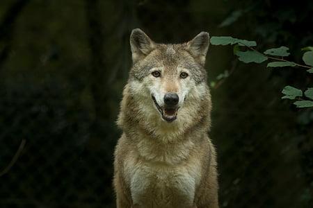 wolf, captivity, animal, carnivore, wildlife, mammal, gray Wolf