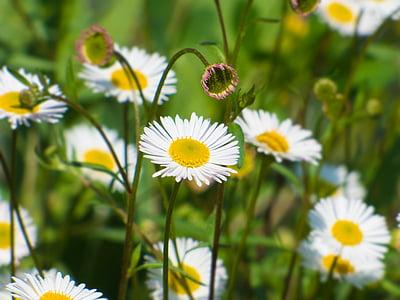 tusenfryd, blomst, våren, vårblomster, natur, hage, Bellis