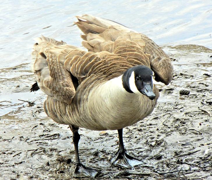ガチョウ, カナダ, 野生の鳥, 春