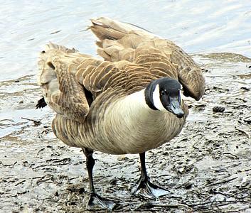 гъски, Канада, дива птица, Пролет