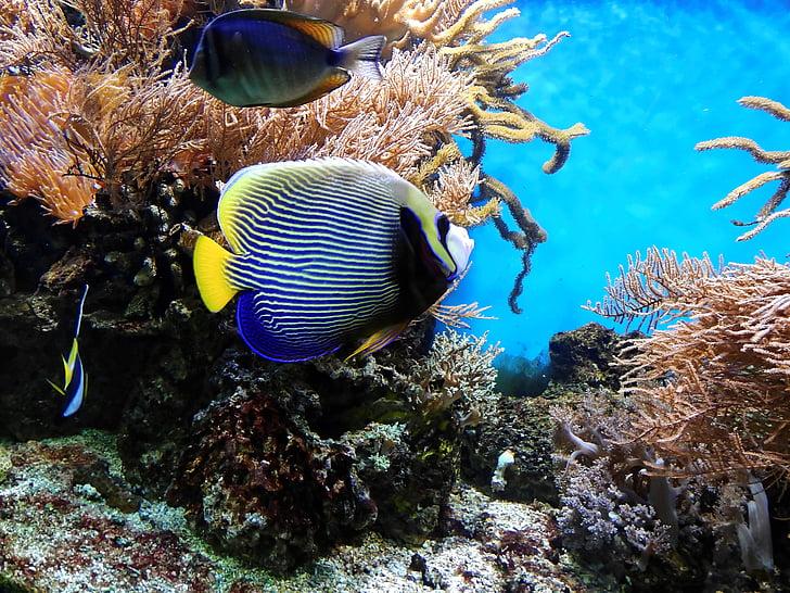 koral, ribe, Podvodni, akvarij, vode, okrasne ribe, eksotične