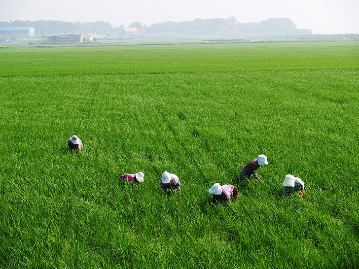 rice paddies, a medley of the pool, farmers, agriculture, nature, grass, farm