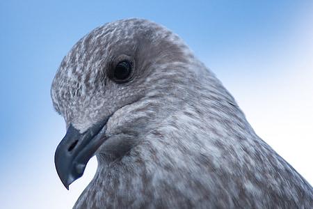 seagull, young animal, bird, young bird, plumage, water bird, waterfowl
