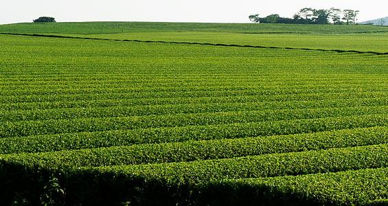 landschap, groene thee plantage, natuur