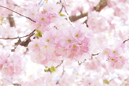 tree, flower tree, bloom, spring, pink, blossom, ornamental cherry