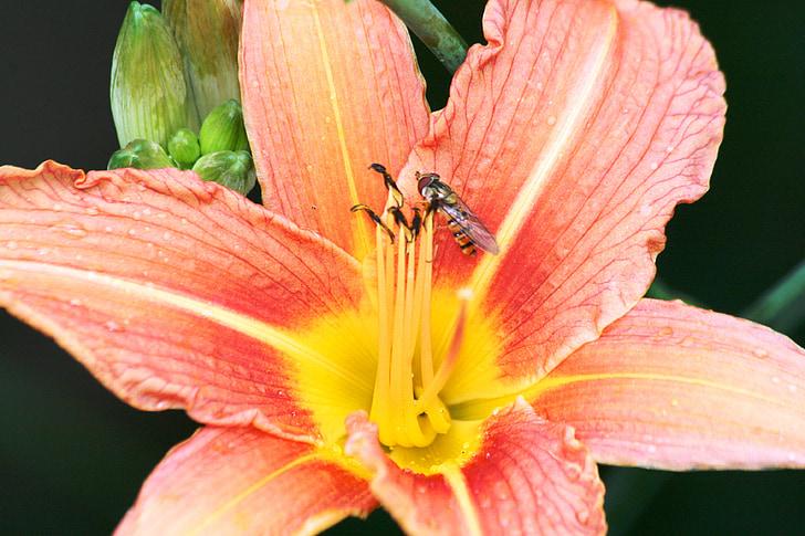 Lily, Hoa, màu hồng, hoa huệ màu hồng, Blossom, nở hoa, Hoa