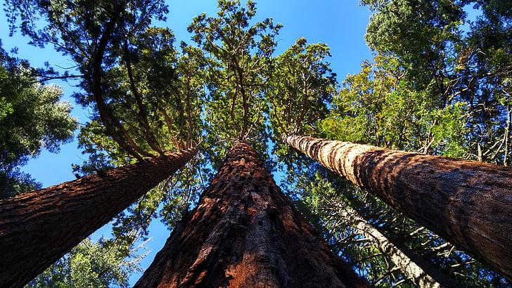 Giant sequoia grove v bližini auburn, California, dreves, borovci, velikan dreves, Sequoia, gozd