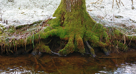 tree, root, water, nature, forest, tree root, rooted