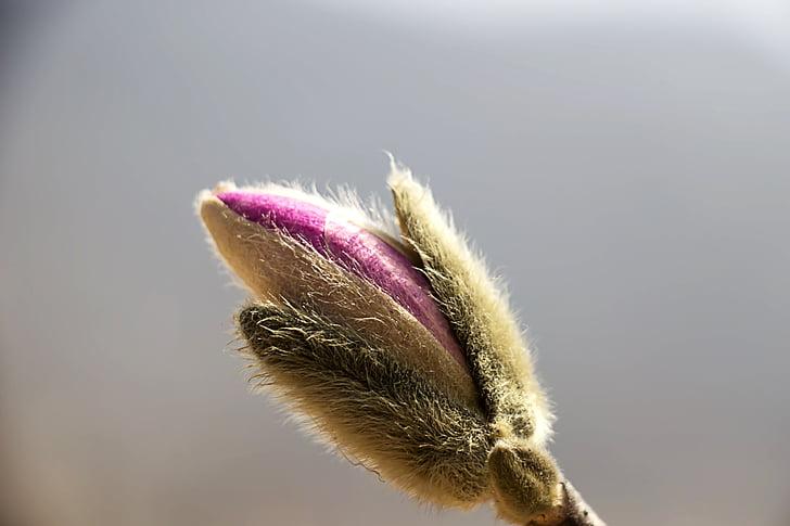 kevadel, Kevadlilled, lilled, taimed, roosa lill, purustada, Magnolia