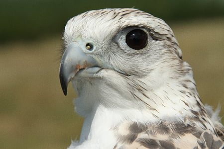 gyrfalcon, falcon, bird, hunter, prey, falconry, raptor