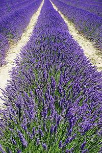 levandų laukas, juostos, kelio, levandų gėlės, gėlės, violetinė, floros