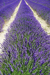 lavender field, lane, away, lavender flowers, flowers, purple, flora