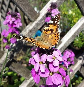 obojana dama, leptir, kukac, priroda, Vanessa cardui, životinja, beskralješnjaka