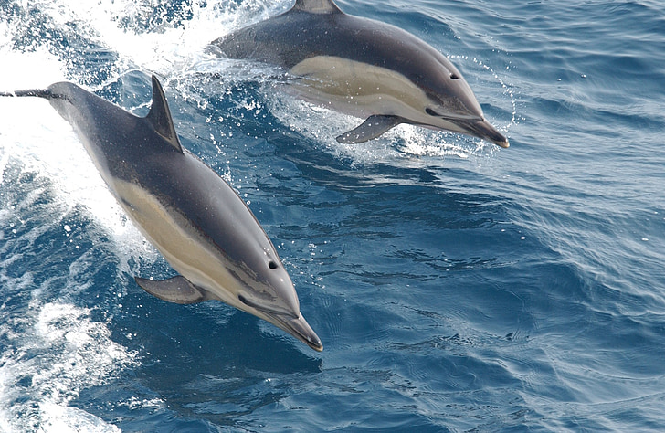 common dolphins, swimming, ocean, sea, mammals, surface, wildlife
