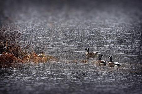 гъски, сняг, спад, езеро, природата, вода, Квебек