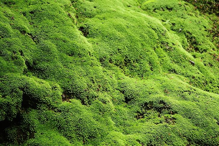 zielony, Mech, piękne, ściana, Indonezyjski, naturalne, obszarów wiejskich