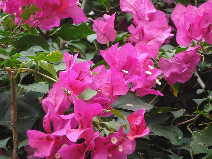 Мартиника, Цветы, бугенвиллеи, Природа, Флора