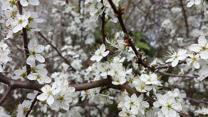 flors, primavera, arbre fruiter, Poma, Setmana Santa, Inici, blanc