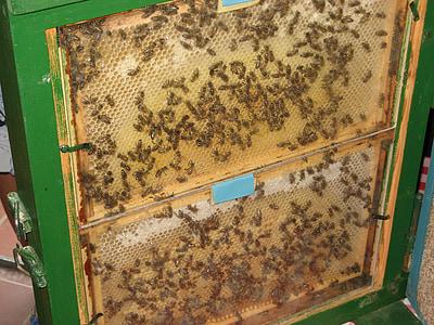 abelles, rusc, pintes, Niu de de abella, rusc, abella, insecte