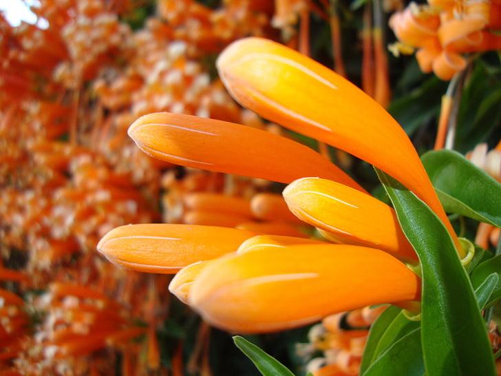 flor de templo, Laos, flor
