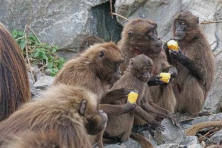 animals, primats, dscheladas, papions de sang, aliments, animal, vida silvestre