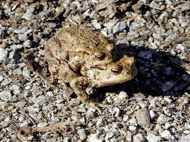 rupikonna, Vaellus, pariliitoksen, Toad siirron